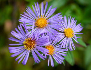 New England Aster/A cluster of beautiful blue/purple New England Asters.