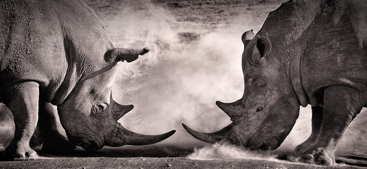 Poster de jardin Rhino fight, a confrontation between two white rhino in the African savannah on the lake Nakuru