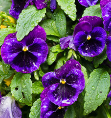 Pansies with water drops