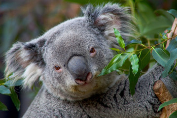 Cute Australian Koala Bear poses on tree