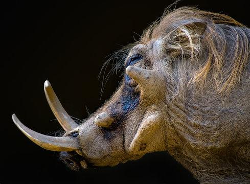 Portrait of Ugly Warthog