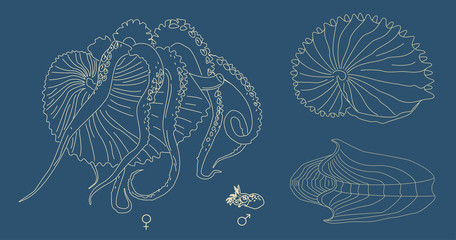 Vector line illustration of Argonaut. Kind of mollusk with tentacles: big female and small male. Ancient octopus with shell.