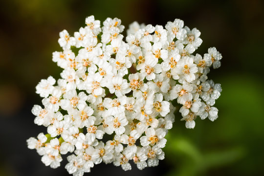 Achillea millefolium or yarrow or common yarrow flowers. Close-up of white yarrow flowers.