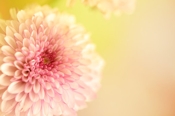 A horizontal presentation of a pink and white flower with a yellow background and plenty of text copy space area on the right.