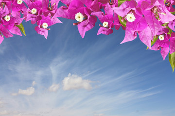 Flowers pink bougainvilleas against the sky