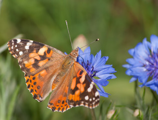 Painted Lady, Vanessa cardui butterfly feeding on blue Cornflower in spring