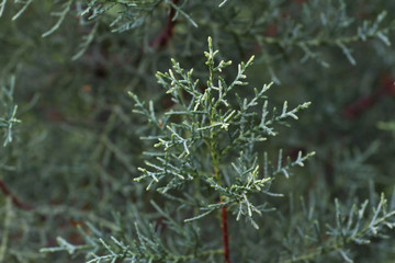 Macro stock photography of the branch  Cupressus arizonica. Conifer needles