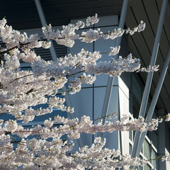 Cherry blossoms in front of a modern glass building, Vancouver,