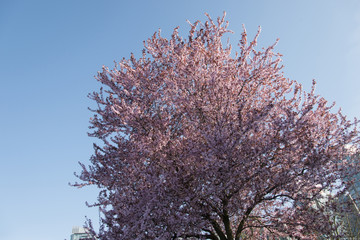 Cherry tree blossoms, Vancouver, British Columbia, Canada