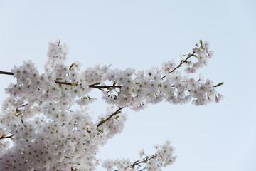 White cherry blossoms, Vancouver, British Columbia, Canada