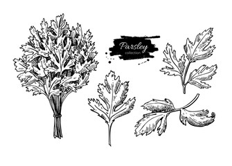 Parsley vector hand drawn illustration set. Isolated spice objec