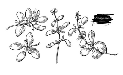 Marjoram vector hand drawn illustration set. Isolated spice obje