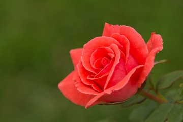 Brilliant bright red single rose in garden with a green background