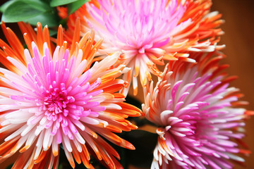 Beautiful pink and orange Chrysanthemum flowers on a black background