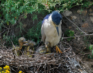 Night-heron with chicks in nest
