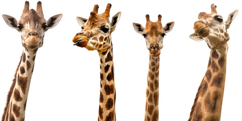Photo sur Aluminium Girafe Giraffes isolated on white background
