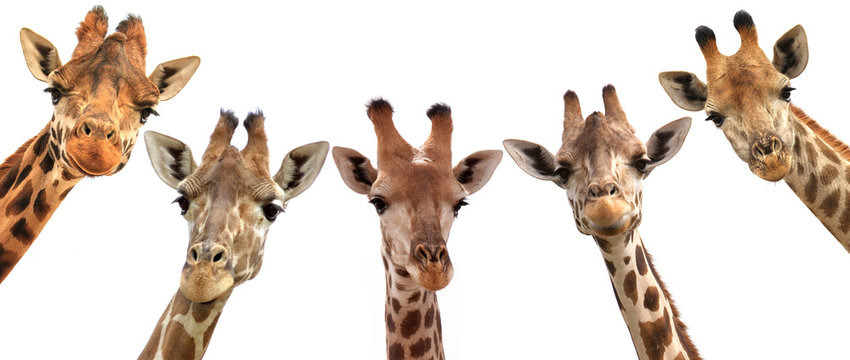Giraffe heads isolated on white background