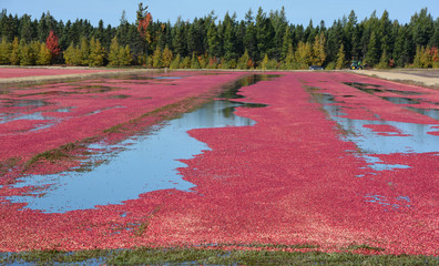 Cranberry farm water management harvesting in Saint-Louis-de-Blandford located on the Becancour River in Arthabaska county Centre-du-Quebec region.