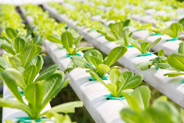 Hydroponics vegetable farm,close up of Lettuce Crop Lactuca Leaf Vegetable