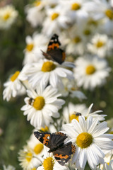 butterfly on white camomile flowers