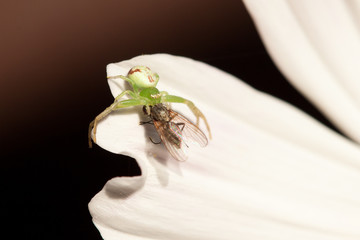 Fly and spider in a flower