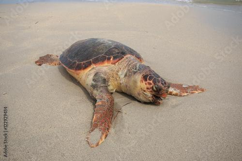 tartaruga marina caretta caretta ferita sulla