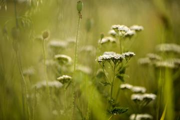 Yarrow Umbels on the Summer Meadow