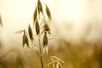 Oat plants on the acre in Summer