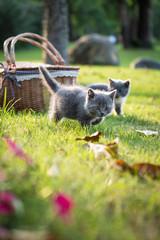 Gray kitten on the grass