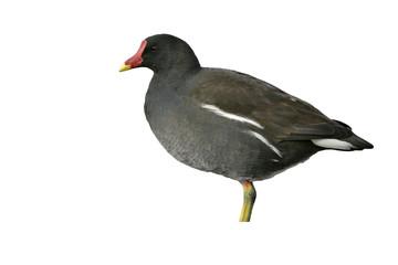 Fotoväggar - Moorhen, Gallinula chloropus,