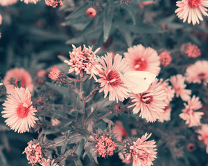 Background of autumn flowers. Violet Asters blooming in the garden. Coloring and processing photo with technicolor style..