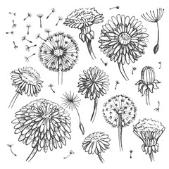 Floral elements for design, doodle ink dandelions. EPS10 Vector illustration