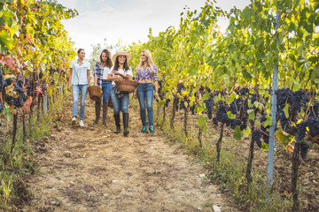 Friends gathering fresh grapes in basket