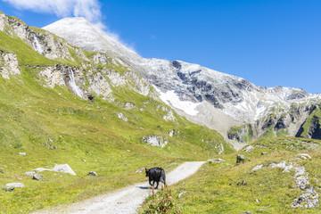 Schwarzes Rind spaziert auf Bergwanderweg durch die alpine Landschaft Wall mural