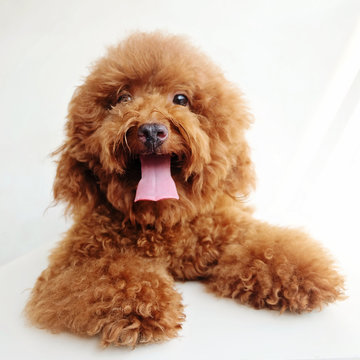 Miniature poodle with white background