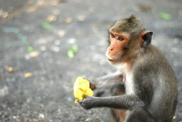 lonely mokey eat mango in thailand