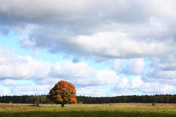 Single oak tree with yellowing leaves/ Single oak tree with yellowing leaves on a background of blue sky and clouds.