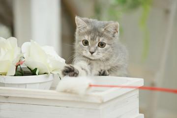 じゃれる子猫(ブリティッシュショートヘア)