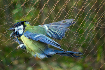 Scientific studies of bird migration 1. Ornithologists catch birds for ringing using special mist nets