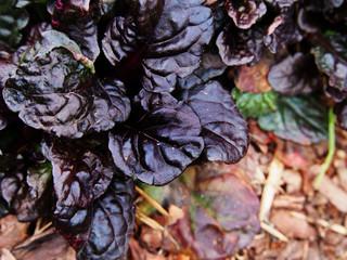 Ajuga reptans 'Black Scallop' - bugleweed