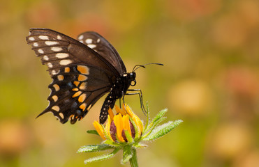 Black Swallowtail butterfly feeding on a Black-Eyed Susan flower against summer garden background
