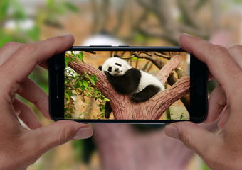 Man taking a photo of sleeping giant panda baby on the tree