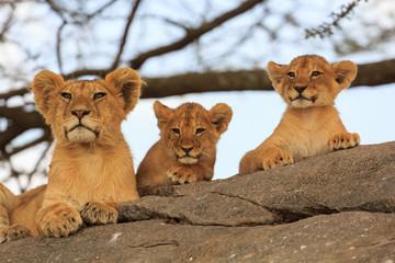 Trois bébé lionceaux regardant au loin en Tanzanie