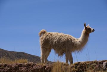 Llama with blue sky