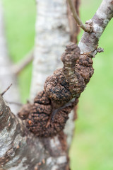 Close up of black canker infecting a plum tree