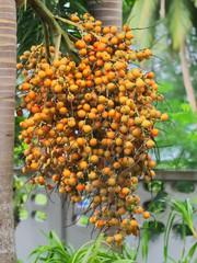 closeup shot of foxtail palm, foxtail palm tree, or Wodyetia bifurcata's seed