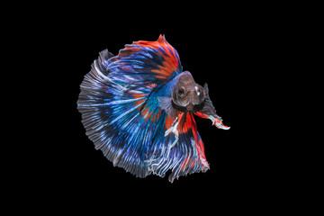 Foto op Canvas Vissen Betta fish (Half moon) or Siamese fighting fish on black background