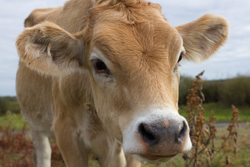 Young dairy cow head. Farm, agriculture in village