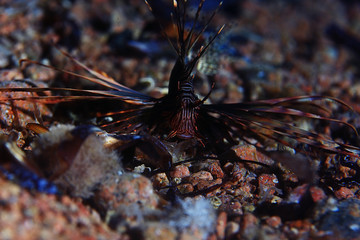 Zebra lionfish fish underwater photo