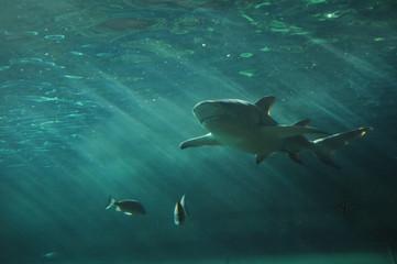 White shark swimming under the ocean